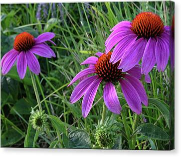 Echinacea Canvas Print by Mikki Cucuzzo