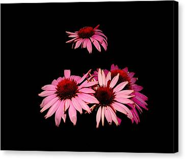 Echinacea Pop Canvas Print