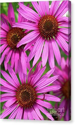 Echinacea Purpurea Rubinstern Flowers  Canvas Print