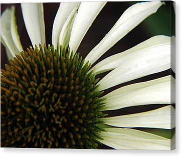 Echinacea Canvas Print by Priscilla Richardson