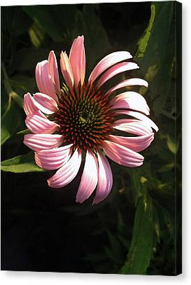 Canvas Print featuring the photograph Echinacea by Steve Karol