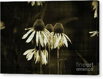 Echinacea Canvas Print by Terrie Taylor