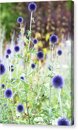 Canvas Print featuring the photograph Echinops Ritro Veitchs Blue by Tim Gainey