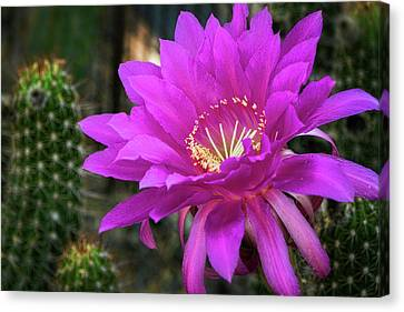 Canvas Print featuring the photograph Echinopsis In Hot Pink  by Saija Lehtonen