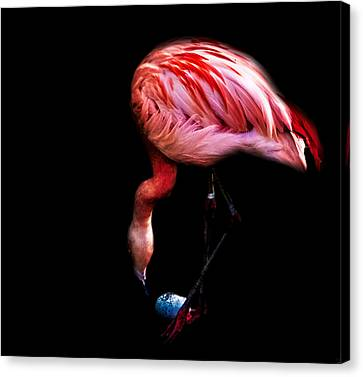 Egg Rolling Flamingo Canvas Print by Martin Newman