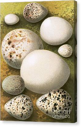 Eggs Canvas Print by English School