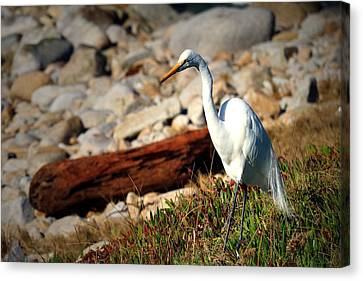 Egret 01 31 17 Two Canvas Print by Joyce Dickens