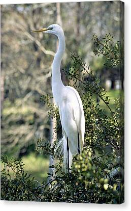 Egret 2 Canvas Print by Michael Peychich