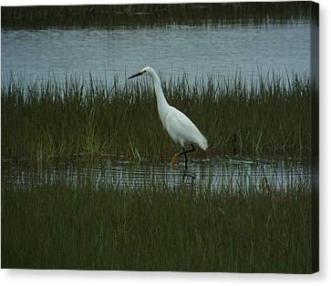 Egret At Old Orchard Beach, Me Canvas Print by Carol Corsaro