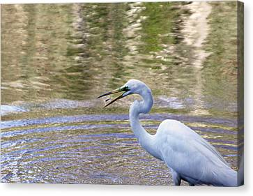 Egret Catching A Fish Canvas Print
