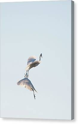 Egret Dance 2 Canvas Print by Catherine Lau