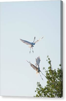 Egret Dance Canvas Print by Catherine Lau