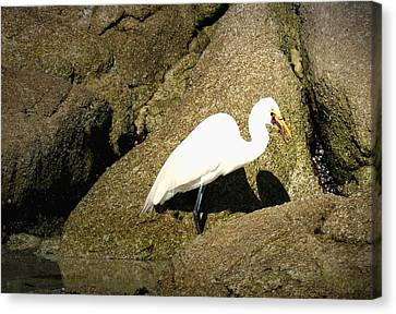 Egret Eating His Catch Canvas Print by Joyce Dickens