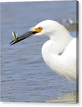 Egret Eating Canvas Print by Marc Bittan
