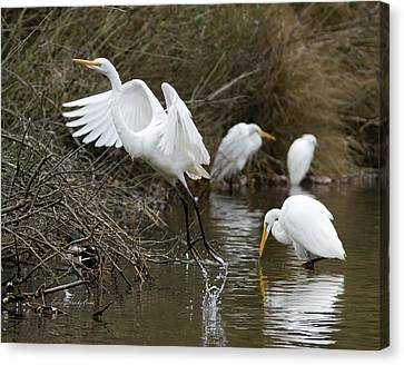 Canvas Print featuring the photograph Egret Exit by George Randy Bass