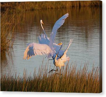 Egret Fight Canvas Print
