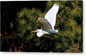 Egret In Flight 1 Canvas Print by Lara Ellis