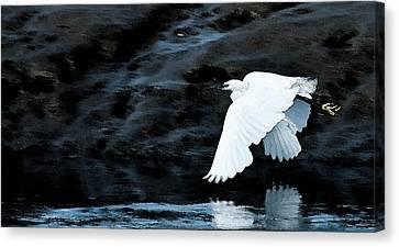 Egret In Flight Canvas Print by Brian Roscorla