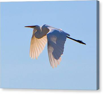 Egret In Silhouette Canvas Print