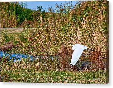 Egret In The Marsh Canvas Print by Bill Perry