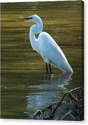 Canvas Print featuring the photograph Egret Resting by Kathleen Stephens