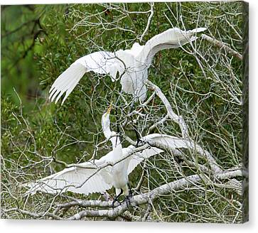 Egret Rumble Canvas Print by George Randy Bass