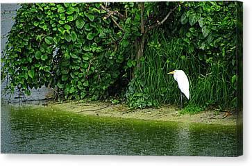 Egret Wakodahatchee Florida Wetlands Canvas Print