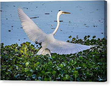 Egret With Wings Spread Canvas Print