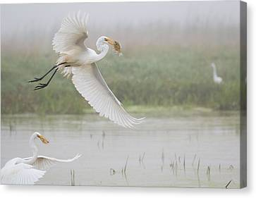 Egrets Fish Canvas Print