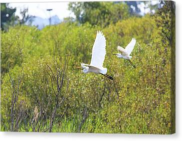 Canvas Print featuring the photograph Egrets In Flight by Jennifer Casey
