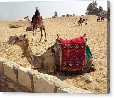 Egypt - Camel Getting Ready For The Ride Canvas Print by Munir Alawi
