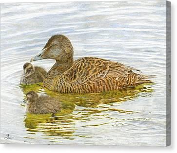 Eider Duck And Ducklings Canvas Print by John Birnie