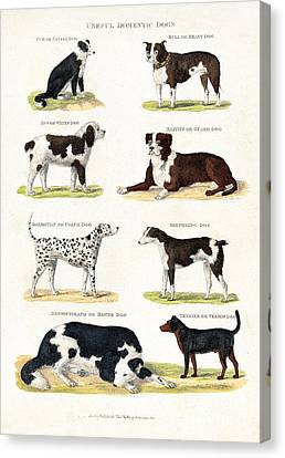 Eight Different Useful Domestic Dogs Canvas Print by Wellcome Images