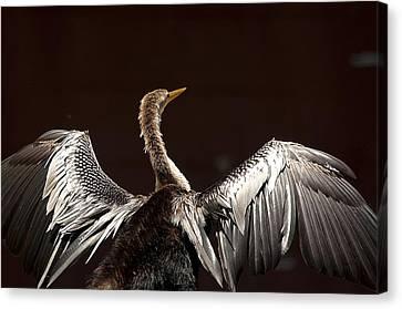 Elegant Anhinga Canvas Print