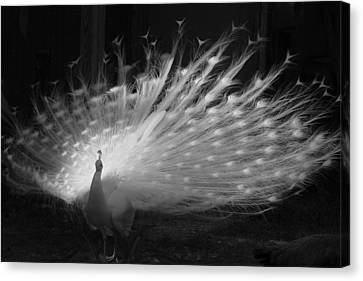 Elegant In White Canvas Print