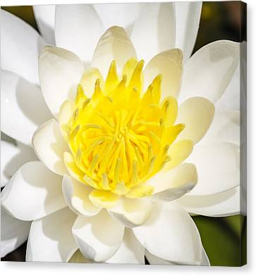 Elegant Lotus Canvas Print by Christopher L Thomley