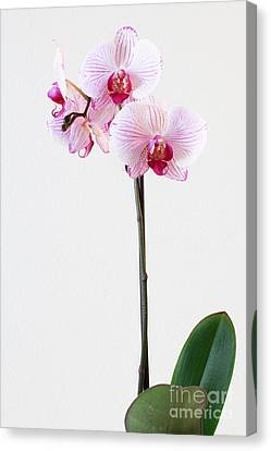 Elegant Orchid Canvas Print by Anita Oakley