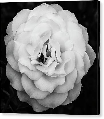Elegant Rose In Square Composition And Monochrome Canvas Print by Vishwanath Bhat