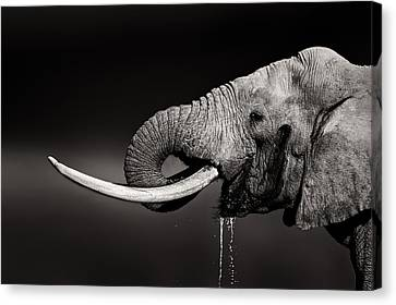 Elephants Canvas Print - Elephant Bull Drinking Water - Duetone by Johan Swanepoel