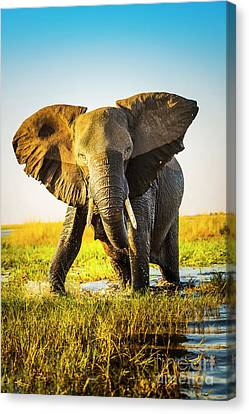 Elephant Charging Canvas Print by Tim Hester