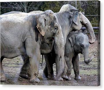 Elephant Family Canvas Print by Laurel Talabere