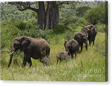 Elephant Family Tarangire Np Canvas Print