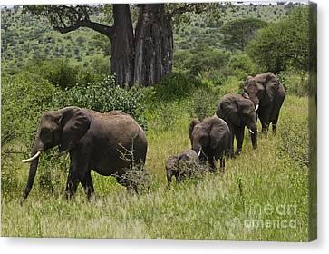 Elephant Family Tarangire Np Canvas Print by Craig Lovell