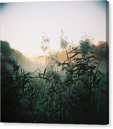 Elephant Grass At Dawn Canvas Print