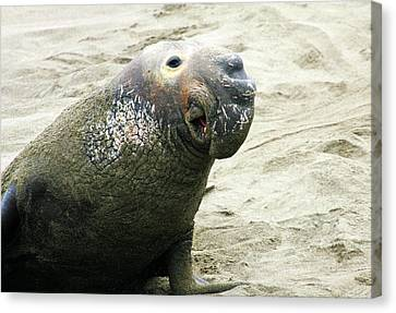 Canvas Print featuring the photograph Elephant Seal by Anthony Jones