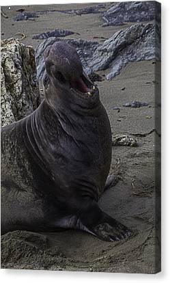 Elephant Seals Canvas Print - Elephant Seal Calling by Garry Gay