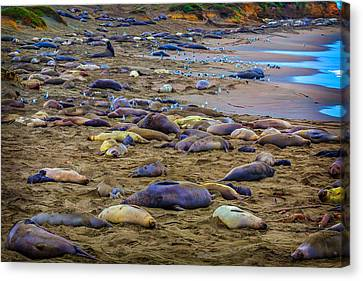 Cambria Canvas Print - Elephant Seal Coloney by Garry Gay