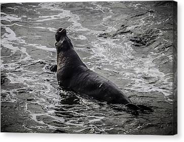 Elephant Seals Canvas Print - Elephant Seal In Surf by Garry Gay