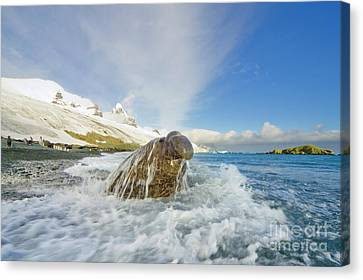Elephant Seals Canvas Print - Elephant Seal In The Surf by Yva Momatiuk and John Eastcott