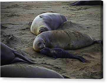 Elephant Seals Canvas Print - Elephant Seal Mom And Pup by Garry Gay